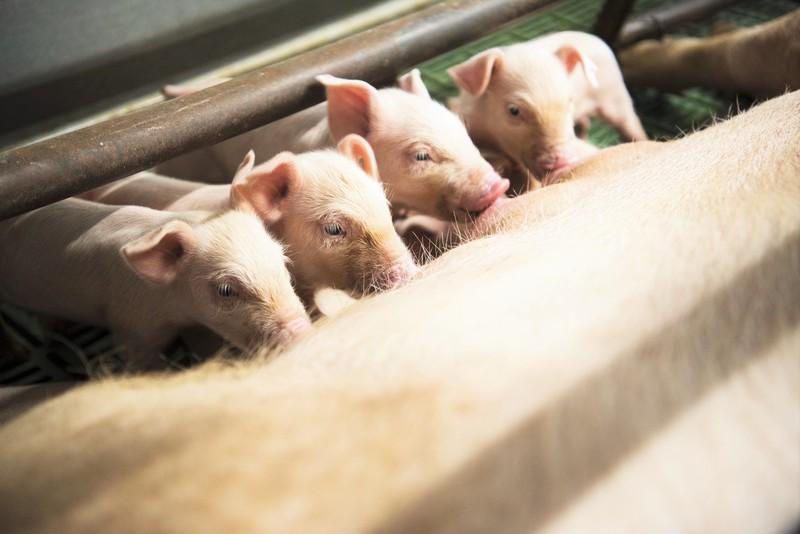 飼育中の佐助豚